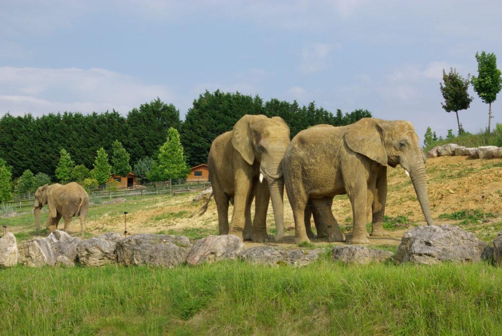 éléphants zoo de Beauval