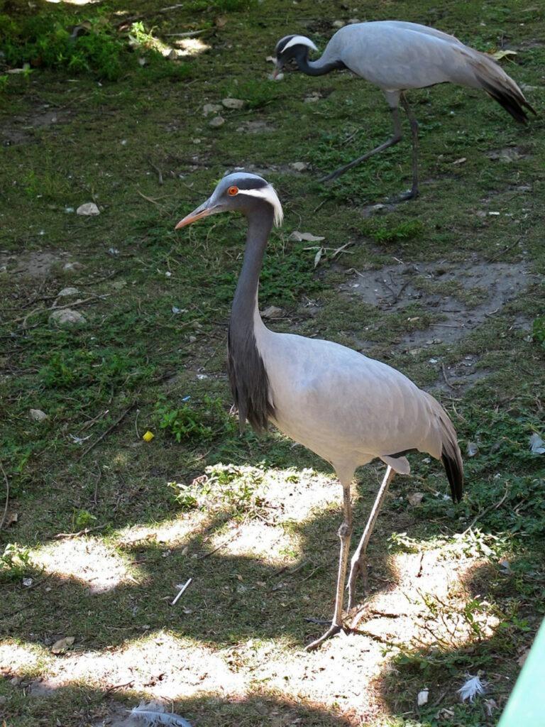 grue demoiselle de Numidie zoo de Beauval