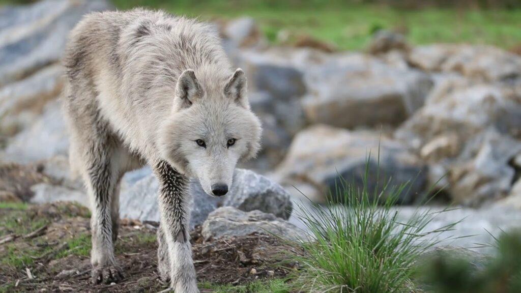 loup arctique zoo de Beauval