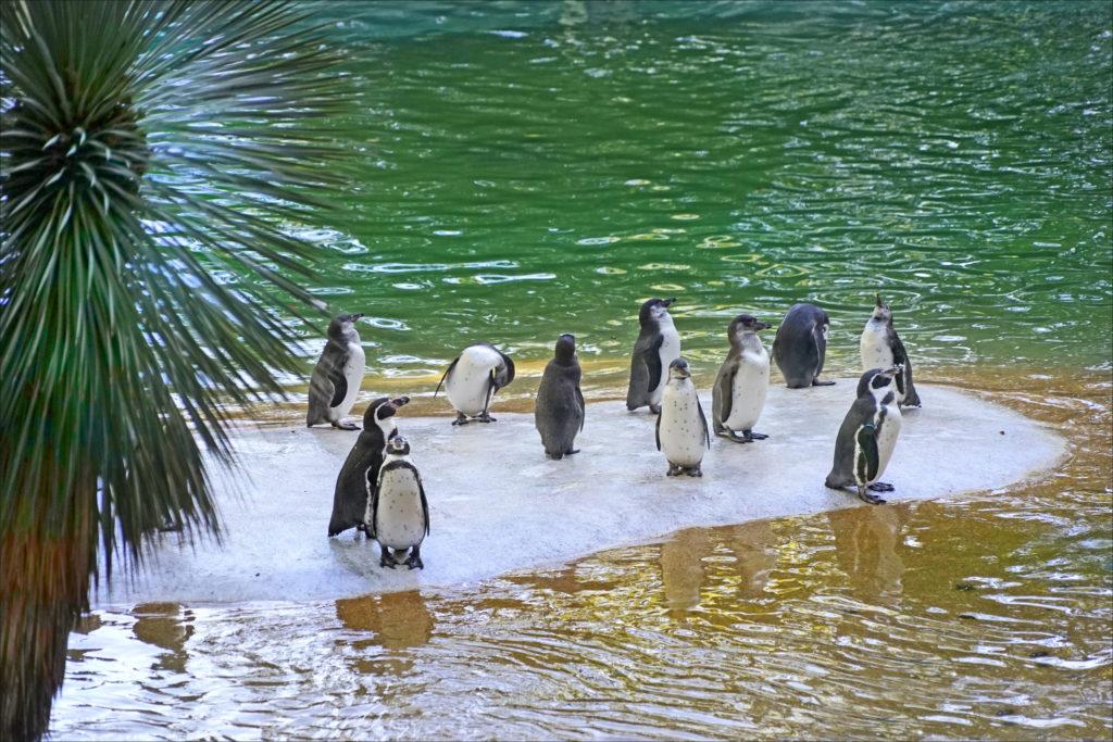 manchots zoo de Beauval