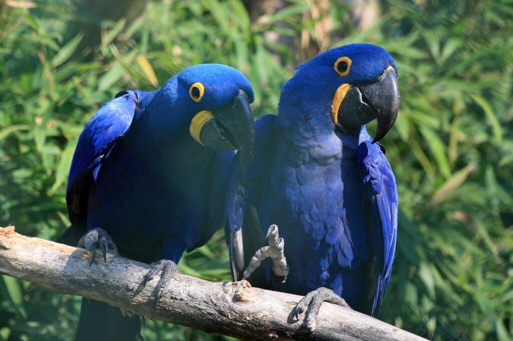 perroquets bleus zoo de Beauval