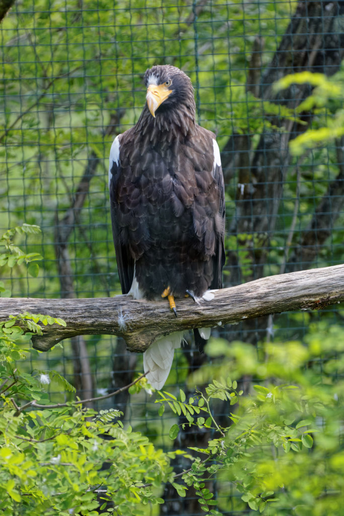 pygargue de Steller zoo de Beauval