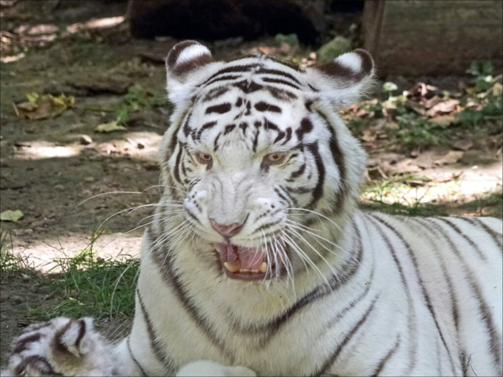 tigre zoo de Beauval