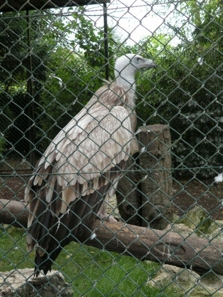 vautour zoo de Beauval