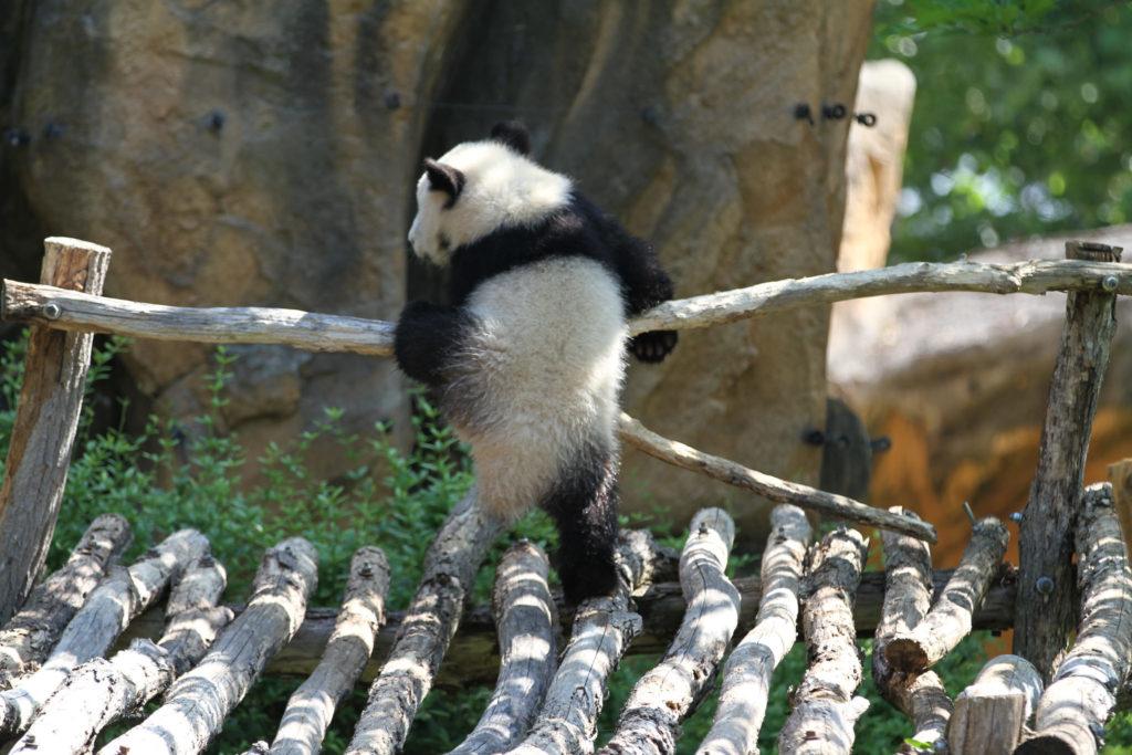 bébé panda Beauval