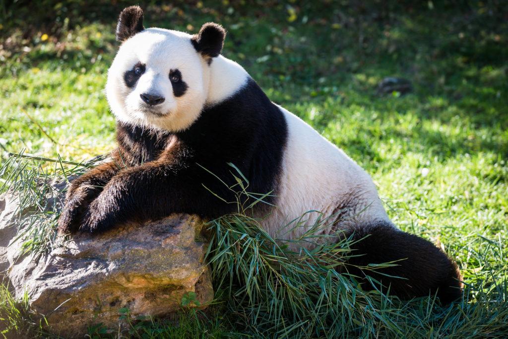 Yuan Zi panda Beauval