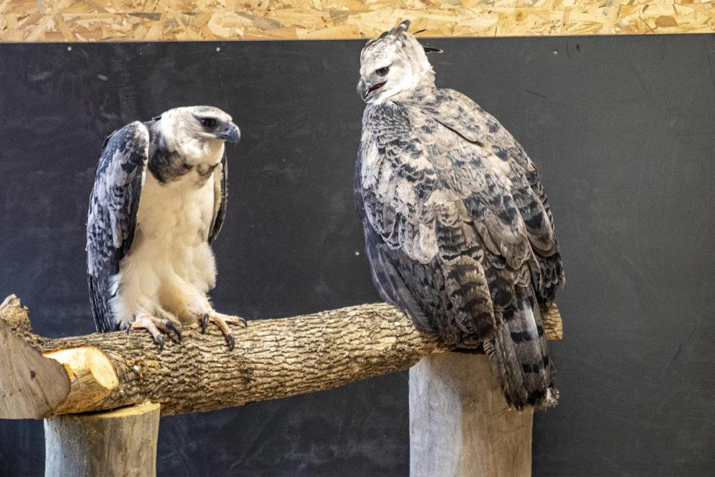 harpies féroces zoo de Beauval